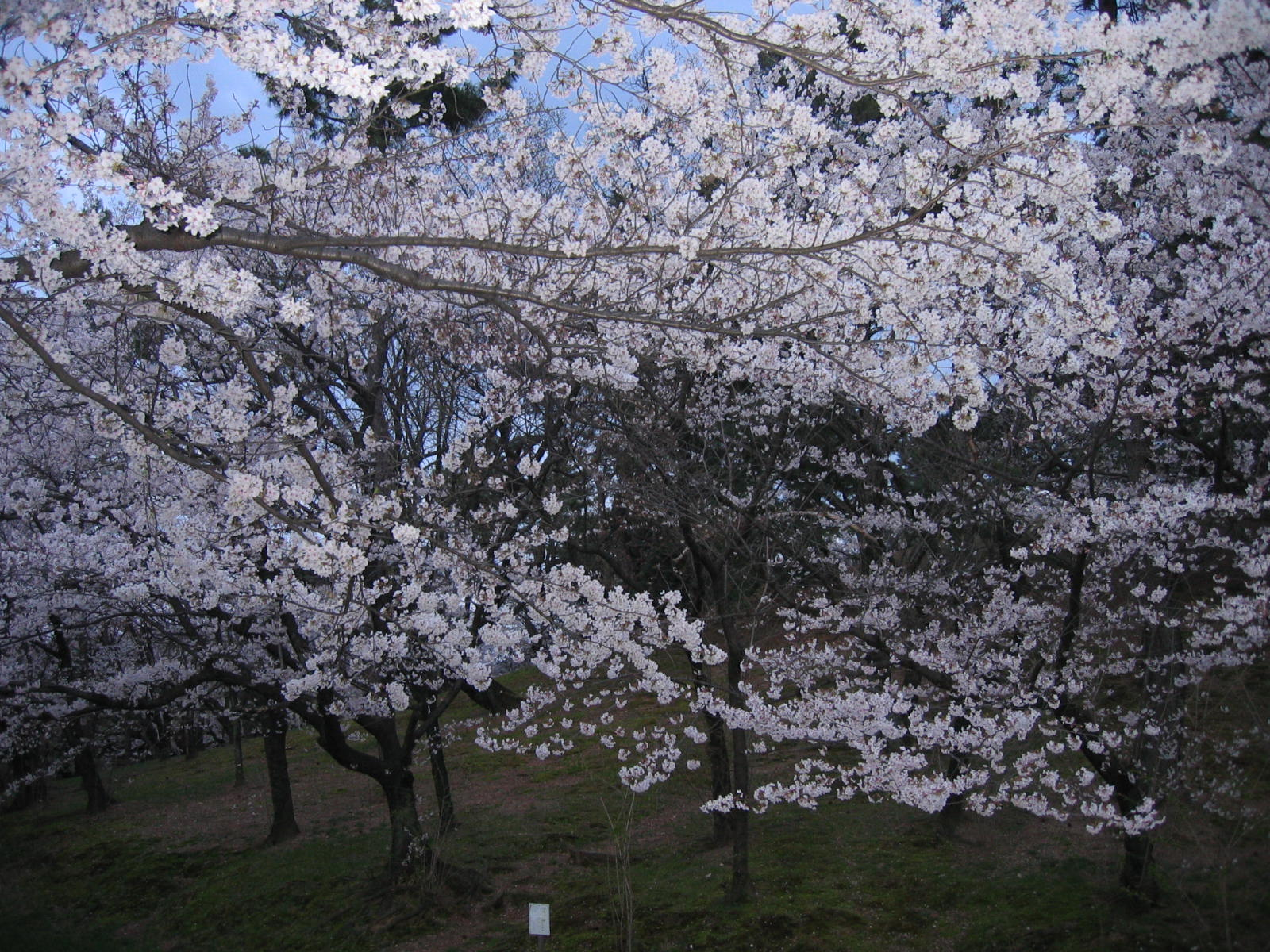 20100404kofunsakura
