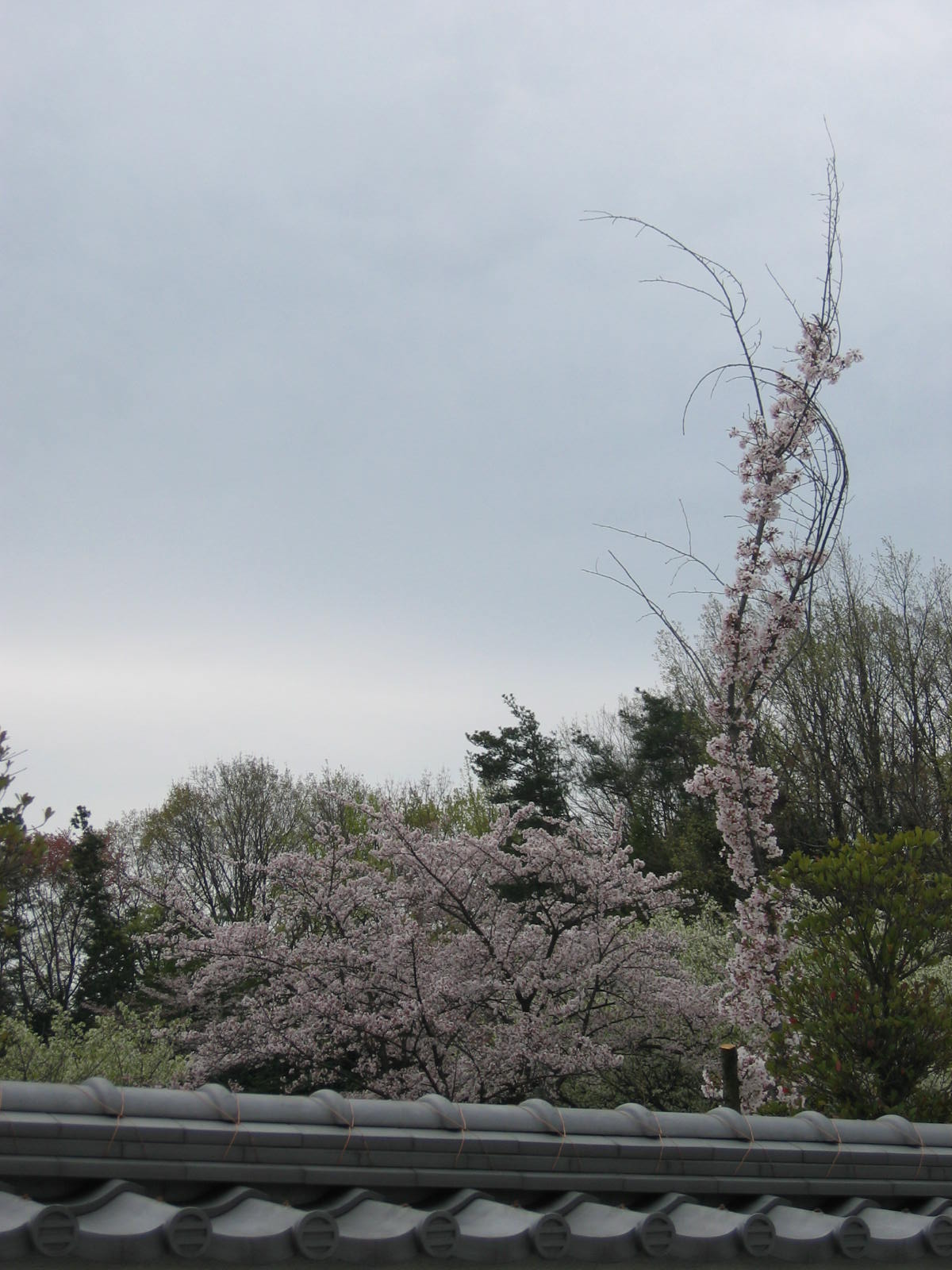 Sakura_016_2