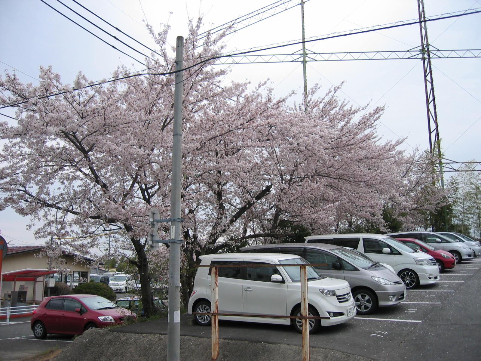 Sakura_020